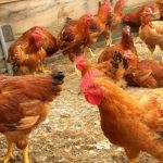 Adesina Poultry